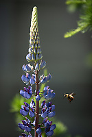 A bumble bee feeds on nectar from lupine flowers outside UAA's Engineering Parking Garage.