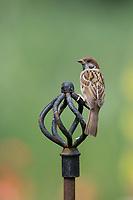 Feldspatz, auf Sitzwarte im Garten, Feld-Spatz, Feldsperling, Feld-Sperling, Spatz, Spatzen, Sperling, Passer montanus, tree sparrow, sparrow, sparrows, Le Moineau friquet, Deko