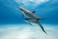 Atlantic spotted dolphin, Stenella frontalis, Little Bahama Bank, Bahamas, Caribbean Sea, Atlantic Ocean