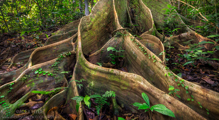 Butress roots from huge tree {Shorea sp.} in lowland dipterocarp rainforest. Danum Valley, Sabah, Borneo, Malaysia.