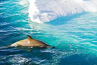 killer whale or orca, Orcinus orca, Type B orca, Paradise Bay, Antarctica, Southern Ocean