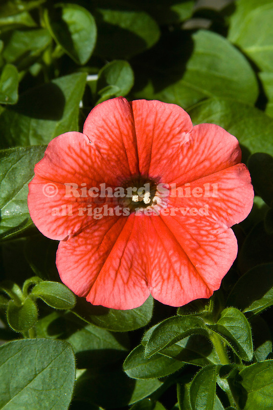 PETUNIA 'HAPPY CERISE WITH RED VEINS'