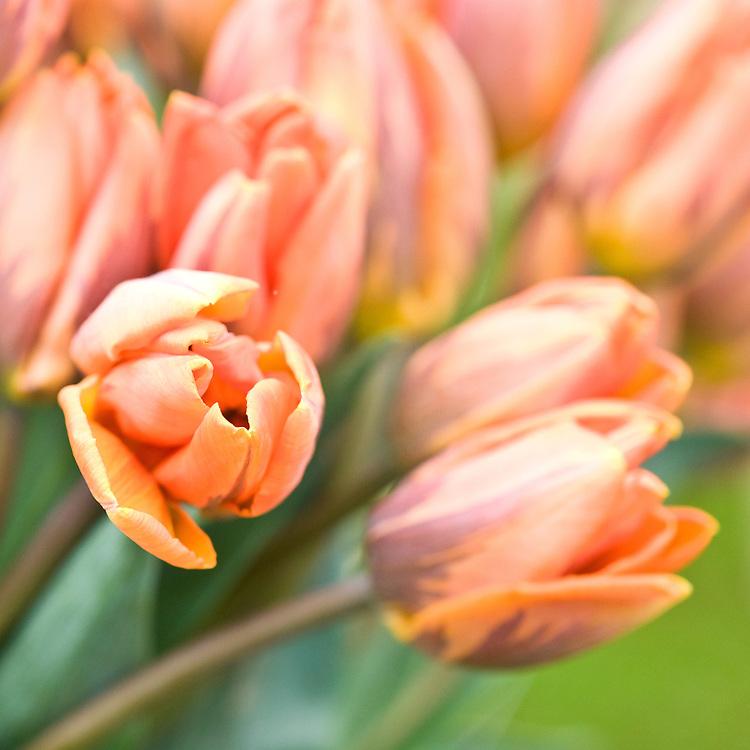 Tulip 'Princess Irene', mid May.
