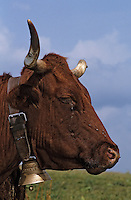 Europe/France/Auvergne/15/Cantal/Parc Régional des Volcans/Env d'Allanche/Buron de la Croix Blanche: Vaches Salers