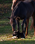 """Can we help moo?<br /> <br /> Pictured: A lost calf is tended to by some inquisitive horses in this heart-warming scene.<br /> <br /> The adorable images were captured by professional equine photographer Sandy Sharkey in countryside near Ottowa, Canada.<br /> <br /> Sandy said, """"I was driving when I noticed three horses in a shady area way off in the distance. They caught my eye because they were all gathered around something on the ground. Through my telephoto lens, I could see the focus of their attention: a newborn baby calf. There were cows in the same field, but not close by and no obvious mother for this little calf.""""<br /> <br /> """"I watched as the horses gently licked and nudged the baby until he finally struggled to stand. The mother cow then appeared from behind some trees and began to bond with her hours-old calf.   The unfolding of this little story made my day""""<br /> <br /> Please byline: Sandy Sharkey/Solent News<br /> <br /> © Sandy Sharkey/Solent News & Photo Agency<br /> UK +44 (0) 2380 458800"""