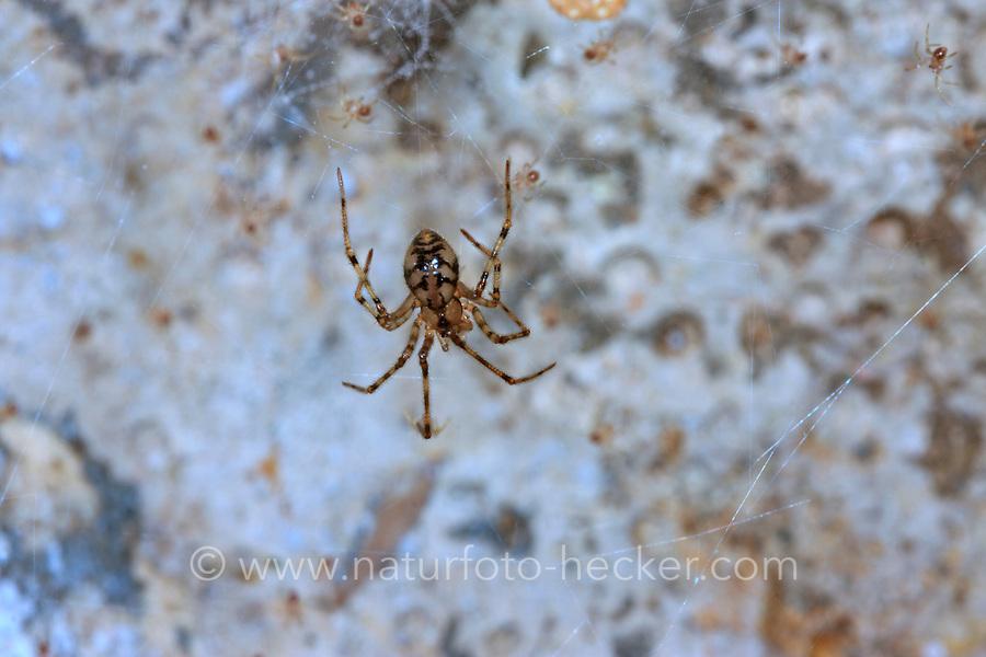 Höhlenspinne, Nesticus cellulanus, Comb-footed Cellar Spider, Höhlenspinnen, Nesticidae