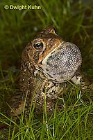 FR11-542z  American Toad Male singing for mate, Bufo americanus or Anaxyrus americanus