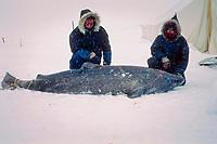 Greenland shark, Somniosus microcephalus, captured through sea ice, off northern Baffin Island, Nunavut, Canada ( Arctic )
