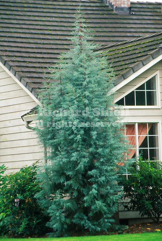 11127-CD Cypress, Cupressus arizonica var. glabra evergreen conifer by house in Camus, Washington.