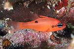 Apogon maculatus, Flamefish, Statia