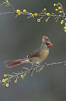 Northern Cardinal, Cardinalis cardinalis, female on blooming Huisache (Acacia farnesiana), Starr County, Rio Grande Valley, Texas, USA, March 2002