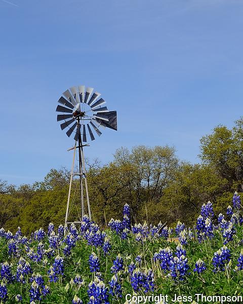 Bluebonnets and windmill, Llano, Texas