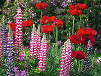 Lupine and poppies at Schreiner's  iris Gardens. Brooks, Oregon