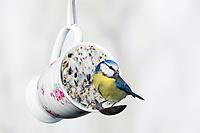 Blaumeise, Blau-Meise, Meise, Meisen, Cyanistes caeruleus, Parus caeruleus, blue tit, La Mésange bleue. Tasse wird mit Fettfutter gefüllt, Selbstgemachte Fettfuttermischung, Fettfutter aus Kokosfett, Sonnenblumenkernen, Erdnussbruch, Körnermix, Körnermischung, Sonnenblumenöl, Vogelfutter selbst herstellen, Vogelfutter selber machen, Vogelfutter selbermachen, Vogelfütterung, Fütterung, bird's feeding