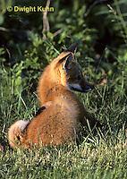 FX03-007z   Red Fox - several months old - Vulpes vulpes