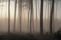 Europe/France/Aquitaine/40/Landes/Parc Naturel Régional des Landes de Gascogne/Marquèze (écomusée de la Grande Lande) /Env de Sabres: Brumes dans les forêt landaise