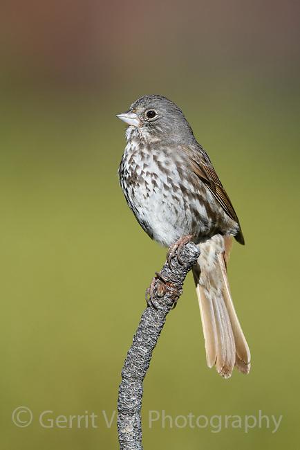 Fox Sparrow (Passerella iliac) of the thick-billed subspeceis fulva. Deschutes County, Oregon. May.