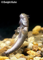 ME01-005b  Mudskipper floating in water-common - Periophthalmus sp.