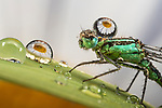 Pictured:   A common green damselfly.  Incredible close-up photos show insects covered in perfectly formed dew drops.<br /> <br /> The macro shots include a wasp, a root weevil, a blue bottle fly, a dragonfly and snipe and yellow dung flies resting on leaves in the early morning dew.<br /> <br /> Calvin Lee, who works as a wedding photographer, took the photos after seeking out the insects shortly after dawn at Messingham Sand Quarry in North Lincolnshire.  SEE OUR COPY FOR FULL DETAILS.<br /> <br /> <br /> Please byline: Calvin Lee/Solent News<br /> <br /> © Calvin Lee/Solent News & Photo Agency<br /> UK +44 (0) 2380 458800