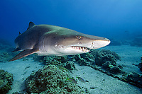 Sand tiger shark, Carcharias taurus, Chichi-jima, Bonin Islands, Ogasawara, Tokyo, Japan, Pacific Ocean