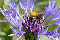 Ackerhummel, Acker-Hummel, Hummel, Weibchen, Blütenbesuch, Bombus pascuorum, Bombus agrorum, Megabombus pascuorum floralis, common carder bee, carder bee, female, le bourdon des champs