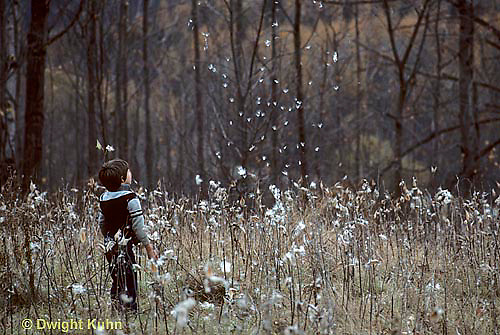 MK01-029z  Milkweed - child watching seed dispersal, breaking from pods, blowing in wind - Asclepias syriaca