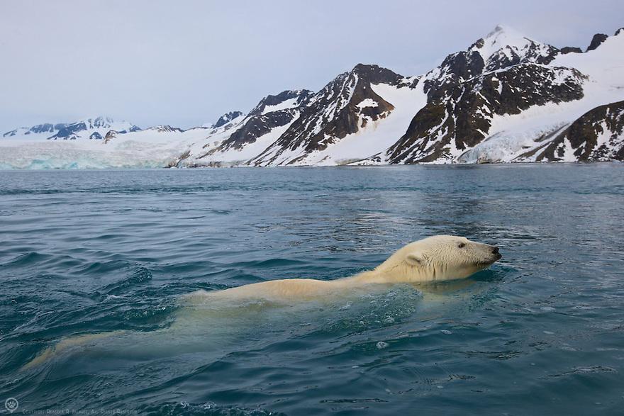 Polar bear swimming back to shore after raiding  a bird island in Smeerenburgfjorden, Spitsbergen, Svalbard.