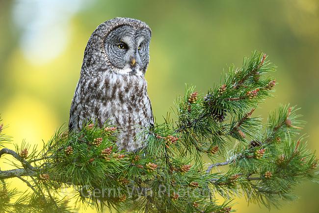 Great Gray Owl (Strix nebulosa). Deschutes County, Oregon.