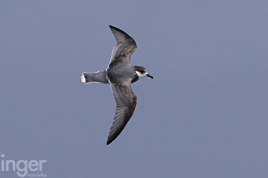 Blue Petrel in Flight
