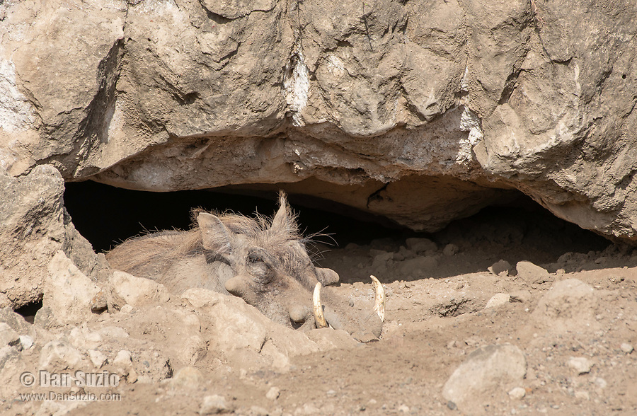 Central African Warthog, Phacochoerus africanus massaicus, rests in the shade of a rock outcrop in Ngorongoro Crater, Ngorongoro Conservation Area, Tanzania