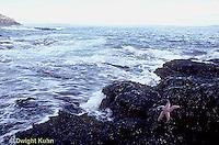 EC02-013z  Starfish - specimen of Boreal Asterias on rocks near ocean at Acadia National Park - Asterias vulgaris