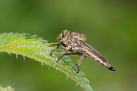 Schlichte Raubfliege, Raubfliege, Machimus rusticus, Downland Robberfly