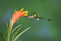 Booted Racket-tail (Ocreatus underwoodii), male feeding from bromeliad flower,Mindo, Ecuador, Andes, South America