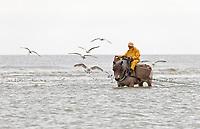 Belgium, Flanders, Oostduinkerke, UNESCO listed activity, UNESCO shrimp fisherman working on the sandy beaches of Oostduinkerke, mounted on a Brabant heavy horse