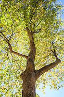 Carya ovata - Shagbark hickory tree; Arnold Arboretum