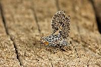 Pfauenfliege, Schmuckfliege, Männchen mit typischer Flügelbewegung, Callopistromyia annulipes, Peacock Fly, Peacock-Fly, male, Schmuckfliegen, Ulidiidae
