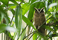 It had been a few years since I've seen this handsome owl species in Costa Rica.