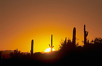 Saguaro Cactus (Carnegiea gigantea), Sunrise, Saguaro National Park, Tucson, Arizona, USA,