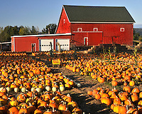Red barn and pumpkin patch in east Multnomah County Oregon