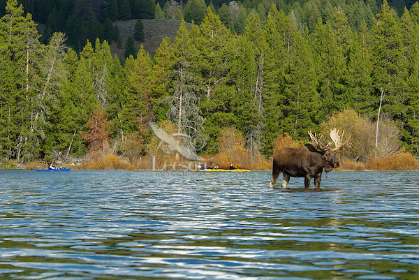 Bull Moose (Alces alces) and kayakers, Snake River, Grand Teton National Park, WY.  Fall.