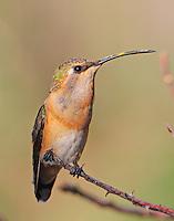 Female lucifer hummingbird