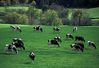 AJ2227, cows, Vermont, Holstein cows grazing on a lush green pasture in scenic Plainfield.