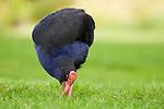 Pukeko (Porphyrio porphyrio) grazing, Nga Manu Nature Reserve, North Island, New Zealand