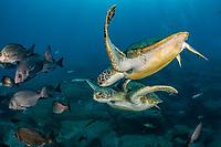couple of green sea turtle, Chelonia mydas, South Tenerife, Canary Island, Spain, Atlantic Ocean