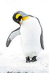 Adult king penguins (Aptenodytes patagonicus) preening on snow. Grytviken, South Georgia, South Atlantic.