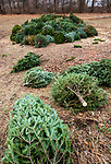 WOODBURY, CT-011521JS03- A pile of discarded Christmas trees sit in the open field next tot he Woodbury Fire Department on Friday as the department prepares for their annual Christmas Tree Burn tonight (Saturday) at 6:00 p.m. The department will be live streaming the event, but ask if to you come to see it in person to adhere to all social distancing protocols. Masks are required  and maintain a 6-foot distance from people not in your immediate. Due to COVID restrictions, they will not be serving hot chocolate or donuts and there will be no tours or access to the fire house. <br /> Jim Shannon Republican-American