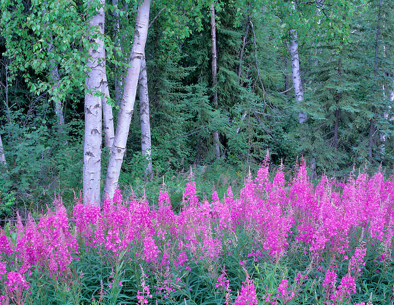 Fireweed (Ephilobium angustifolium) with white paper birch trees. Near Wiseman, Alaska