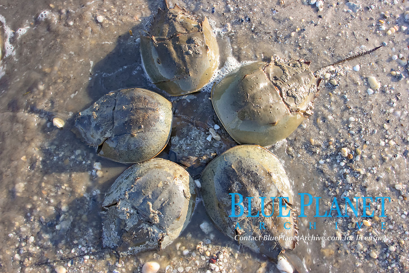 Horseshoe Crabs (Limulus polyphemus) Males surround a female (center) in order to spawn during an evening high tide on Kitts Hummock Beach in Delaware Bay. May,2007