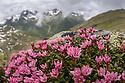 Trailing / Mountain Azalea {Kalmia procumbens} in flower on mountainside. Nordtirol, Tirol, Austrian Alps, Austria, 2500 metres, July.