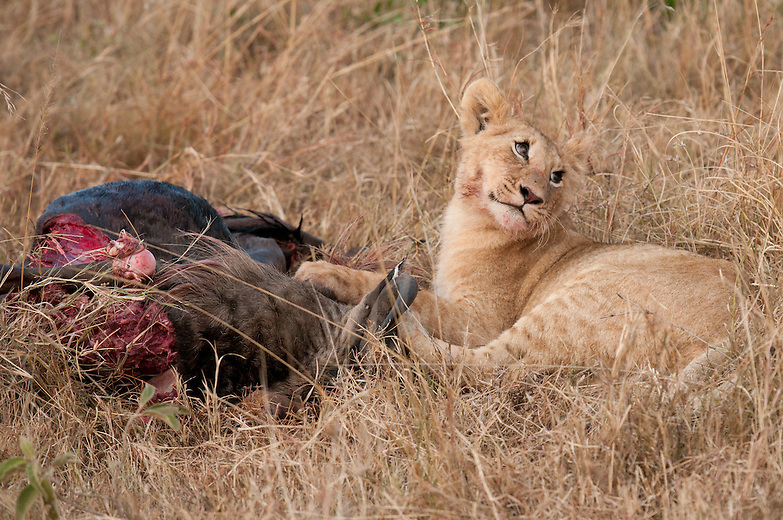 A lion cub feasts on a newly killed wildebeest during the Great Migration in Kenya. During lean times there is a strict order of feeding in lion. The territorial males eat first, mothers follow and cubs would be last. However during times of plenty the order is not strictly observed as the pride is likely to be making kills more often.